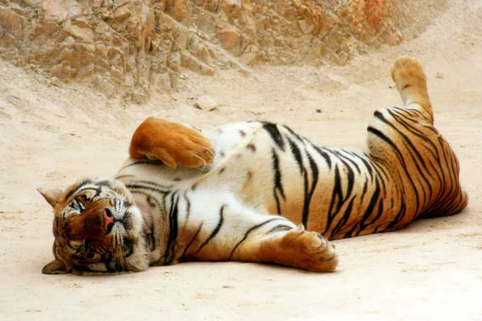 Tigre indochine